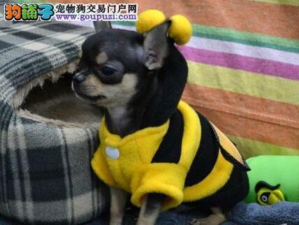 上海世界最小茶杯犬、墨西哥吉娃娃、苹果头、包活