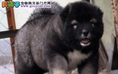 狼青色原生态血系的西宁高加索犬找新家 非诚勿扰