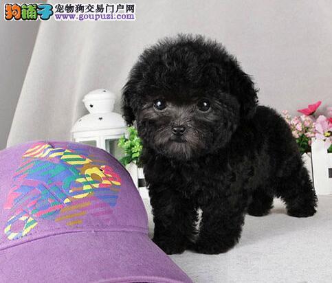 大连专业繁殖出售精品韩系泰迪犬 多只幼犬供您选购
