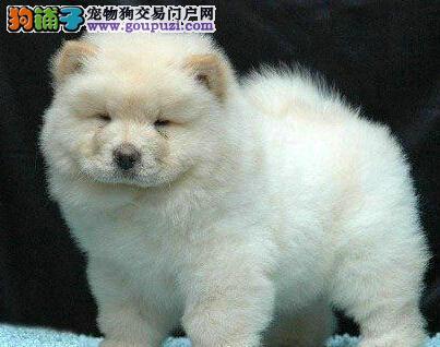 石家庄狗场转让胖嘟嘟十分可爱的松狮犬 疫苗已做好