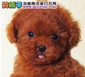 报亭出售纯正血统泰迪幼犬 前活体协议包活售后有保障