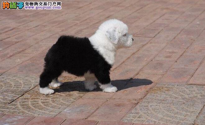 顶级古代牧羊犬宝宝,假一赔十质量保障,微信咨询看狗