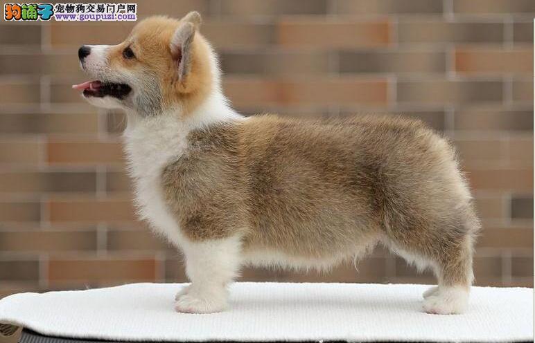 洛阳售威尔士柯基犬 两色三色柯基 英国女王犬欢迎选购