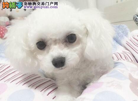 亳州市极品泰迪犬出售健康体型完美泰迪犬优惠送狗粮