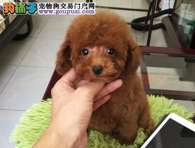 可爱纯种深圳泰迪犬出售中 纯正韩国血统保证健康