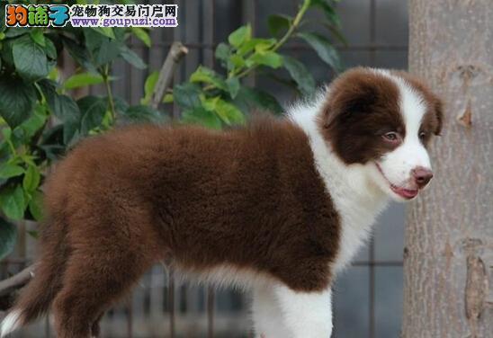 广州售边境犬边境牧羊犬边牧公狗疫苗驱虫已做