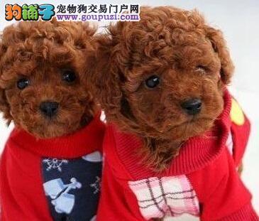 直销出售可爱韩系泰迪犬 欢迎北京周边人士上门购买
