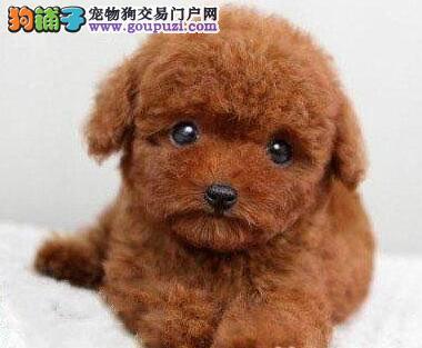 热销泰迪犬颜色齐全可见父母欢迎您的指导2