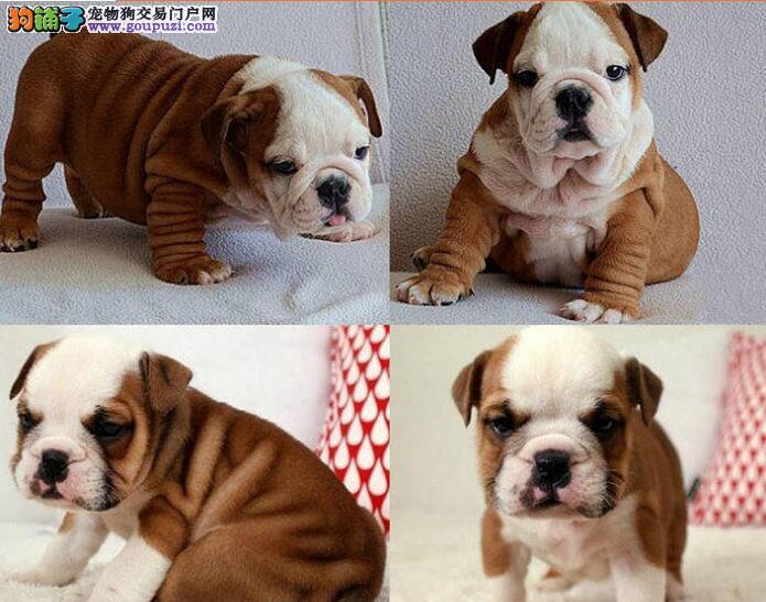 北京售英国斗牛犬 英牛犬幼犬 疫苗驱虫已做可视频看狗图片