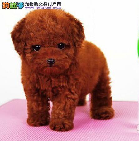 赤峰卷毛小体泰迪犬出售 方便携带的玩具犬健康好养活3