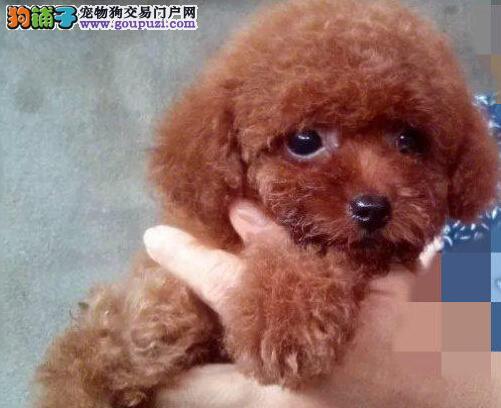 泰迪犬宝宝热销中 国际血统品质保障 购犬可签协议2