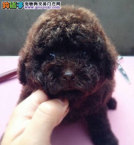 泰迪犬宝宝热销中 国际血统品质保障 购犬可签协议4