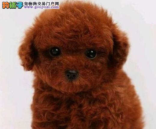 家养纯的泰迪宝宝 健康活泼可爱 。