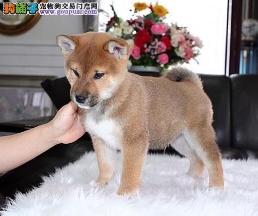 日系柴犬幼犬出售 双血统宠物狗柴犬 身体倍儿棒 欢迎挑选