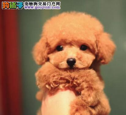 泰迪犬以前很爱吃饭但最近食欲下降了