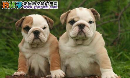 双血统英国斗牛犬出售 黄白花纹长相好 诚信交易 购犬签协议1