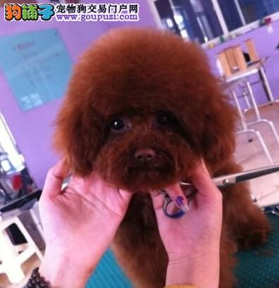 银川出售马上三个月的泰迪犬卷毛贵宾犬疫苗驱虫已做