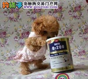 纯种健康韩系泰迪犬特价出售 杭州市内可免费送货