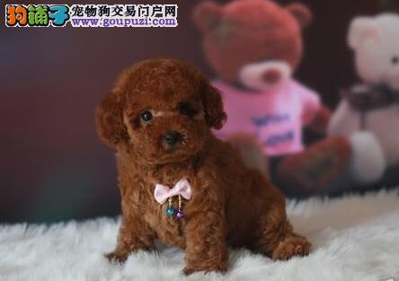 低价转让韩系血统武汉泰迪犬 可视频看狗可包邮3