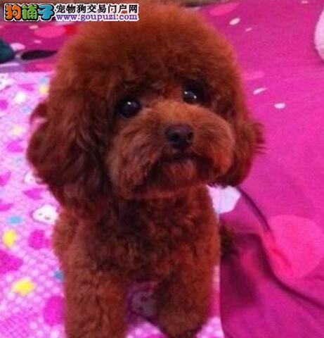 梅州出售各色经典玩具泰迪犬终身伴侣 聪明可爱惹人爱