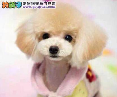 让泰迪犬的毛发变得光鲜亮丽的方法