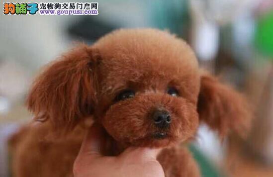 家庭医生告诉你泰迪犬的牙齿容易患上哪些异常疾病