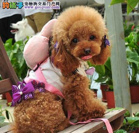 家庭护理 如何科学照顾产后的泰迪犬