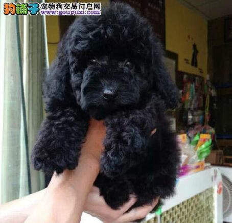 纯种贵宾幼犬西安火热开卖 犬业专业繁殖 可上门挑选