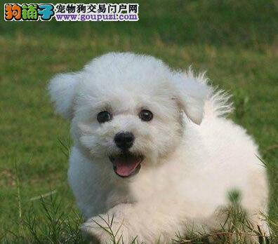 北京棉花糖般的比熊幼犬 纽扣眼毛量足小体比熊出售