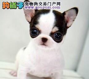上海 送狗上门可看狗视频 吉娃娃 签质保协议