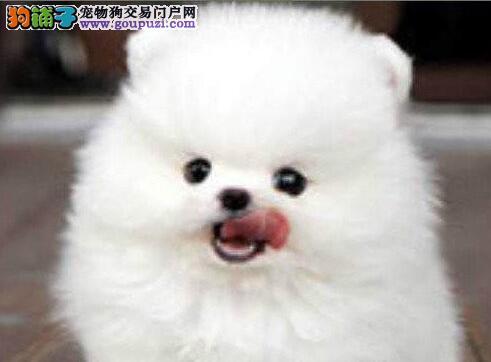 纯种哈多利版郑州博美犬特价直销 有问题可包退换