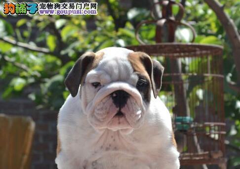 专业犬舍直销健康西宁斗牛犬品种齐全血缘清楚1