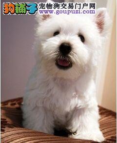 莆田犬繁殖基地售顶级西高地幼犬 品相完美签质保合同