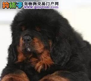 火爆出售血统纯正的藏獒微信看狗真实照片包纯3