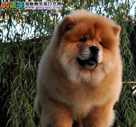 直销出售大嘴巴大毛量的石家庄松狮犬 多只幼犬任选