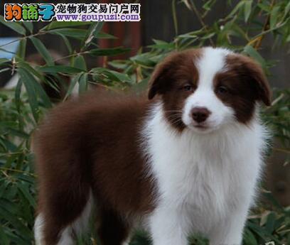 正宗极品北京边境牧羊犬绝对血统纯正加微信送用品