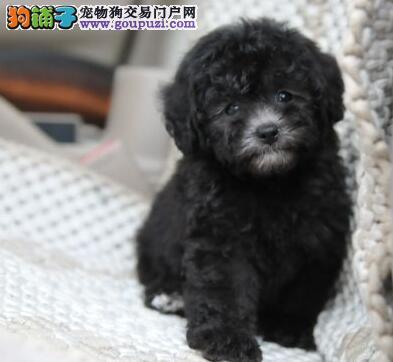 北京正规狗场犬舍直销贵宾犬幼犬质保协议疫苗驱虫齐全
