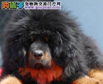 火爆出售血统纯正的藏獒微信看狗真实照片包纯2