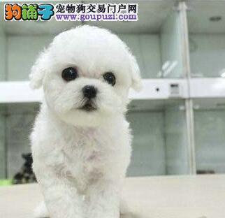 广州卷毛比熊犬 纯白色比熊犬 棉花糖比熊照片