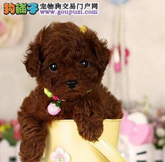 极品泰迪犬出售 血统认证保健康 三年质保协议