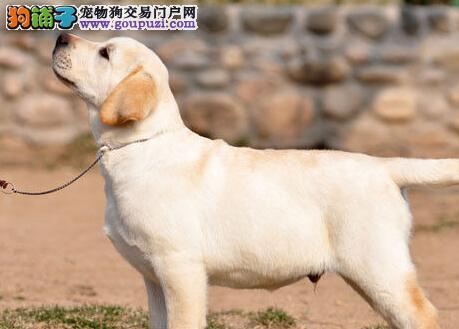 厦门大型养殖基地特价出售拉布拉多犬 赠送宠物狗用品