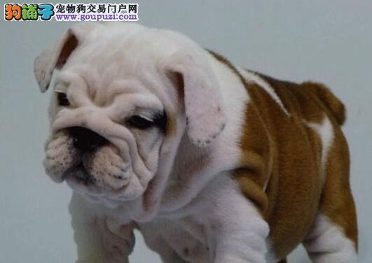 广州顶级纯种法国斗牛犬纯种健康专业狗场繁殖签协议