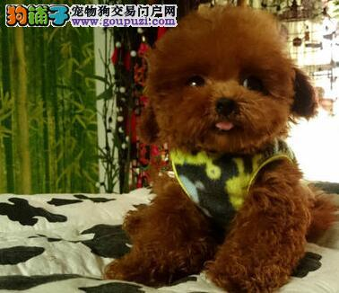 深圳实体泰迪熊犬舍出售健康泰迪犬 健康纯血统泰迪熊