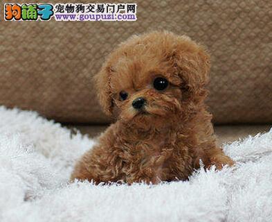 成都专业繁殖纯种泰迪幼犬可送货上门签协议保健康2