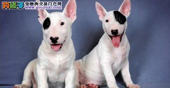 上海精品牛头梗犬保纯保健康 疫苗和驱虫均已做完2