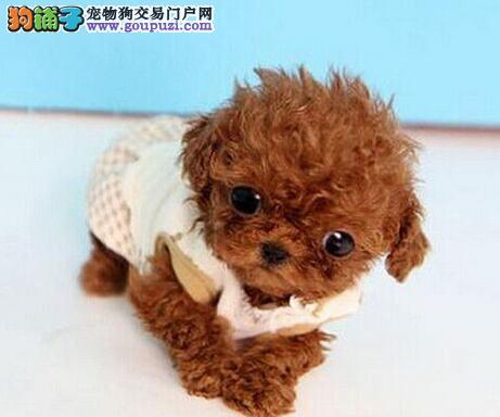 顶级优秀韩系青岛泰迪犬热销中 质量三包可签订协议2