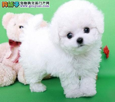 北京家庭繁育精品泰迪熊出售 韩系血统 长不大的泰迪犬图片