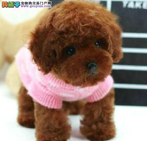 茶杯玩具多血系的青岛泰迪犬找爸爸妈妈 疫苗驱虫已做