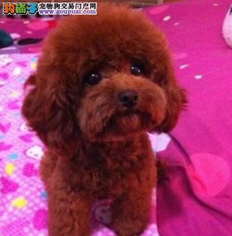 泰迪犬CKU认证犬舍自繁自销爱狗人士优先狗贩勿扰
