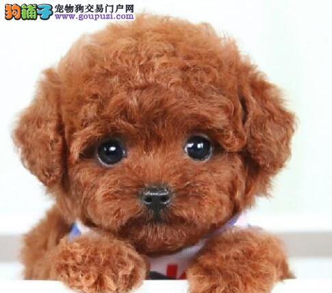 转让正宗韩国血系苏州泰迪犬 可办理血统证书已做疫苗